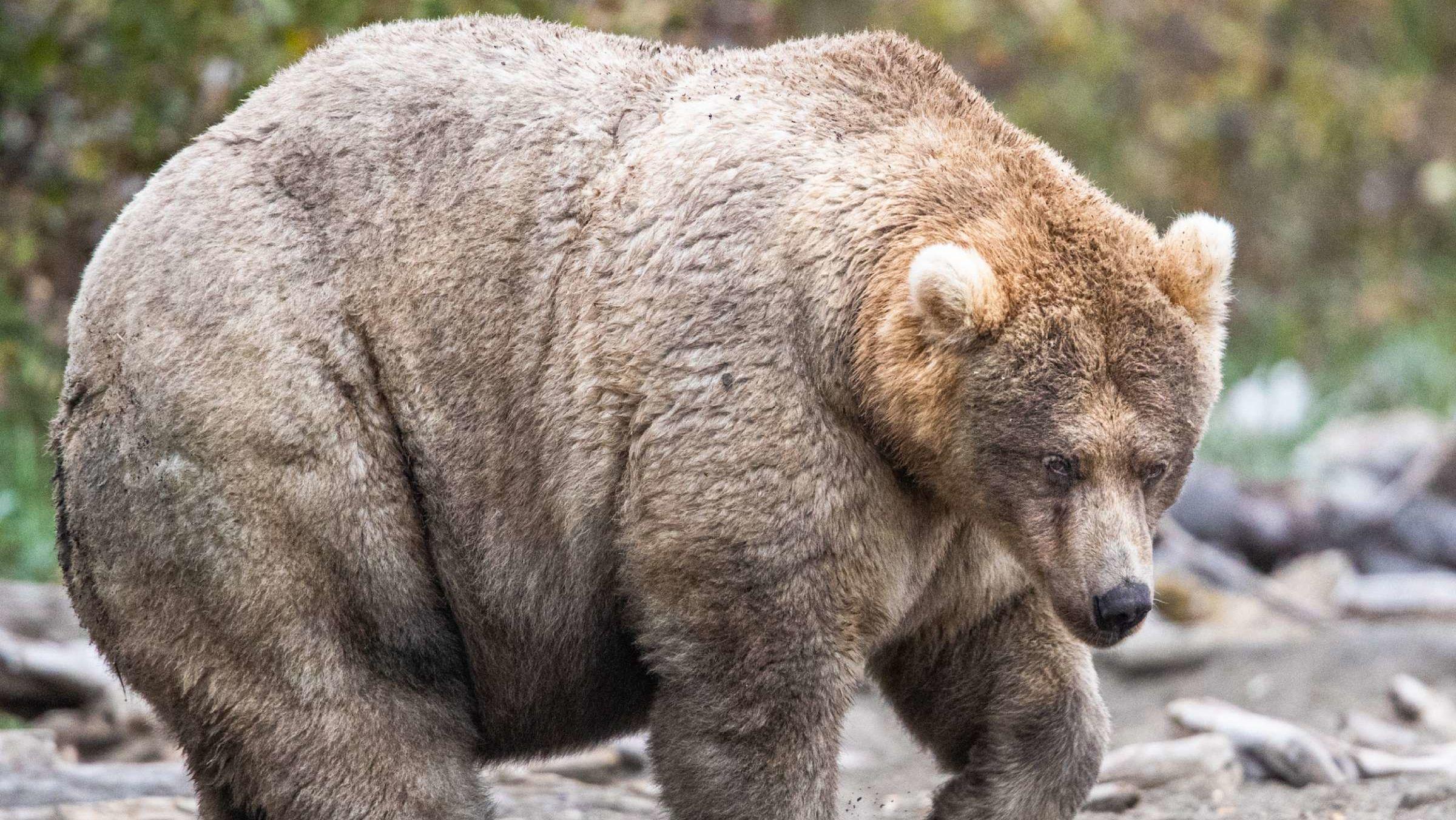 Meet Holly: The Winner of Alaska's 'Fat Bear Week' Competition at Katmai National Park