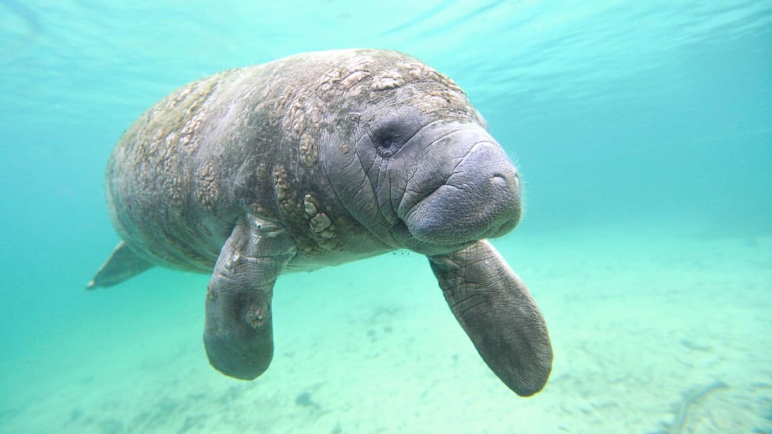 A West Indian manatee in Florida