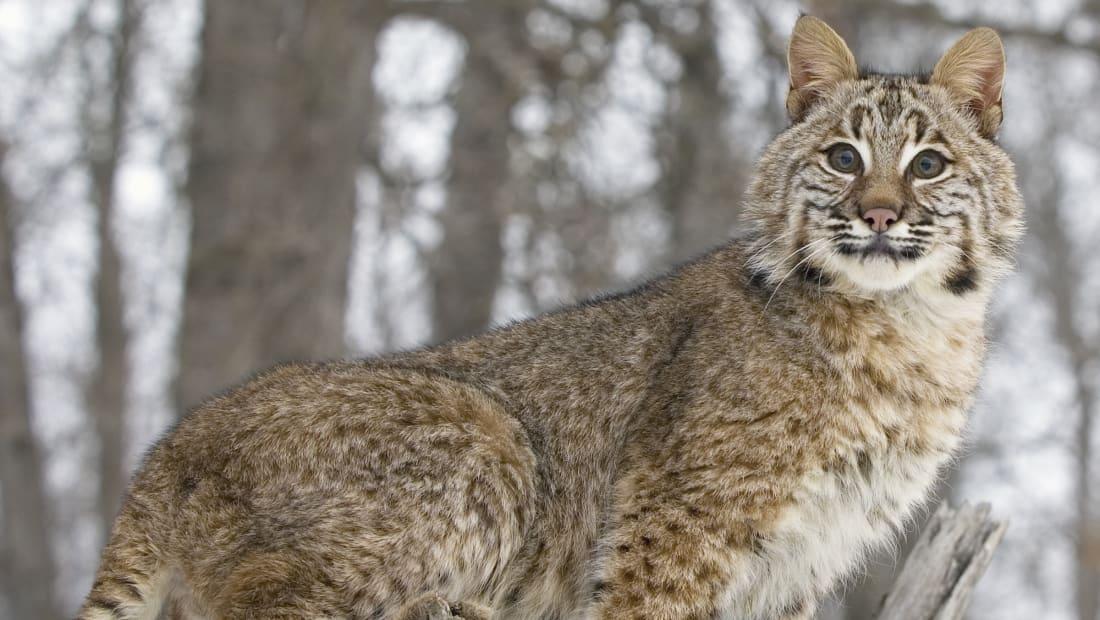 A fierce, elusive bobcat.
