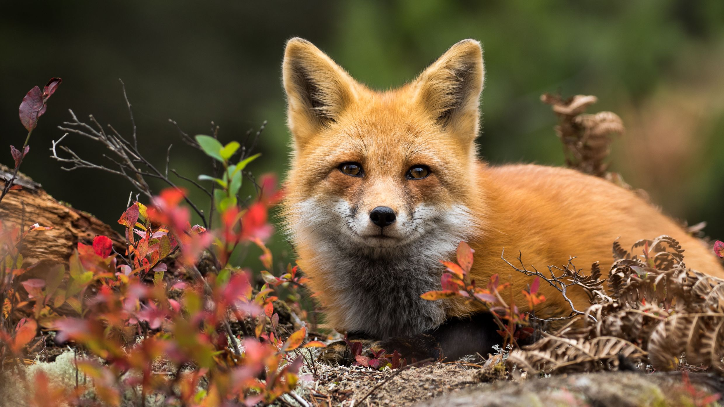 14 Fascinating Facts About Foxes Mental Floss