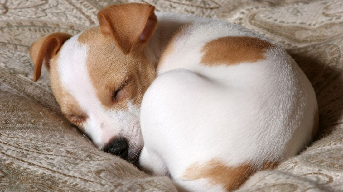 The Surprising Reasons Your Dog Curls Up in a Ball Before Going to Sleep