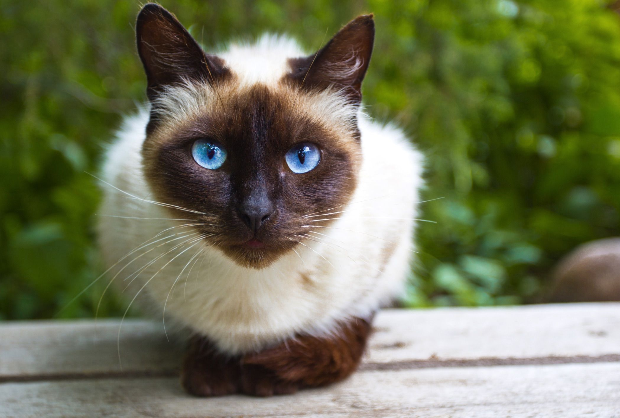 13 Facts About Siamese Cats Mental Floss