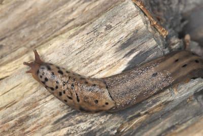 Surprise! A leopard slug's penis is located on its head.