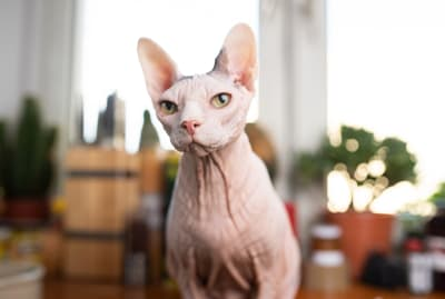 This Sphynx has seen some stuff.