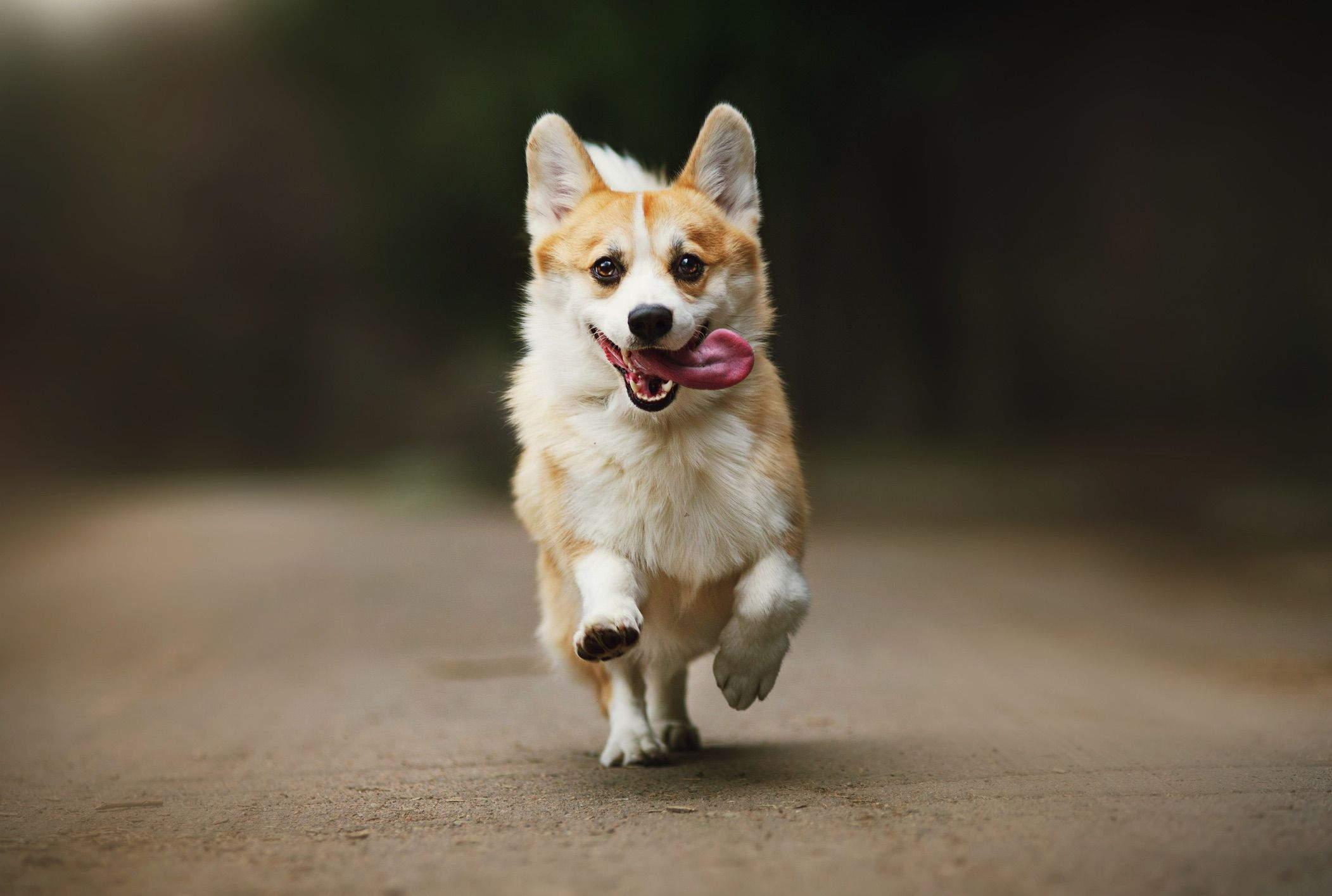 10 Fun Facts About Corgis Mental Floss