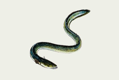 Use anguilloform to describe something eel-shaped.