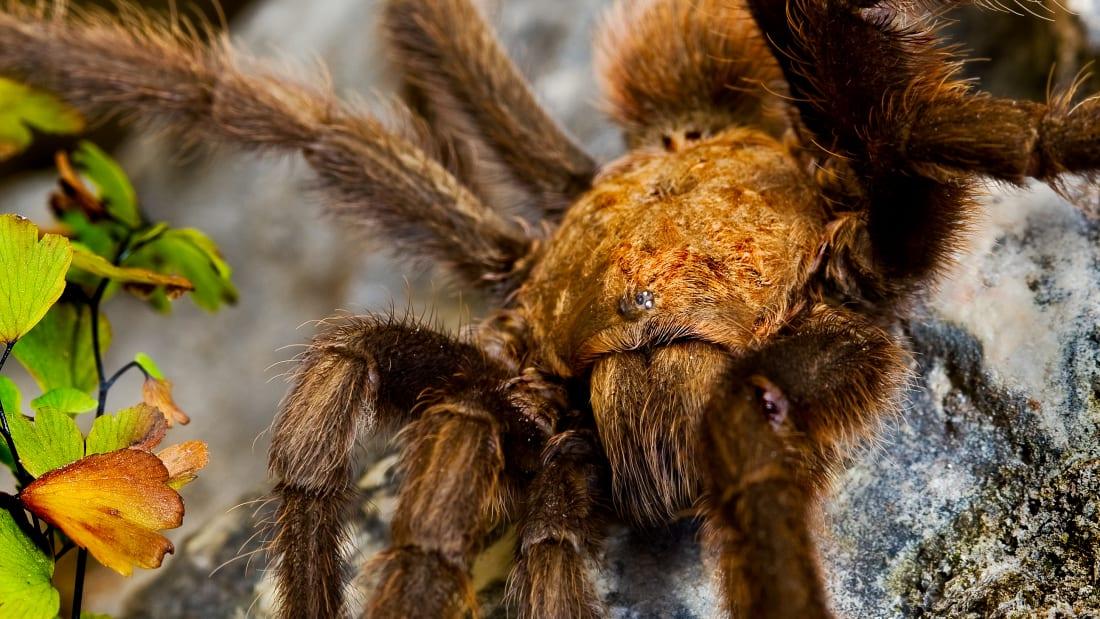 Thousands of Tarantulas Are Crawling Around Colorado for