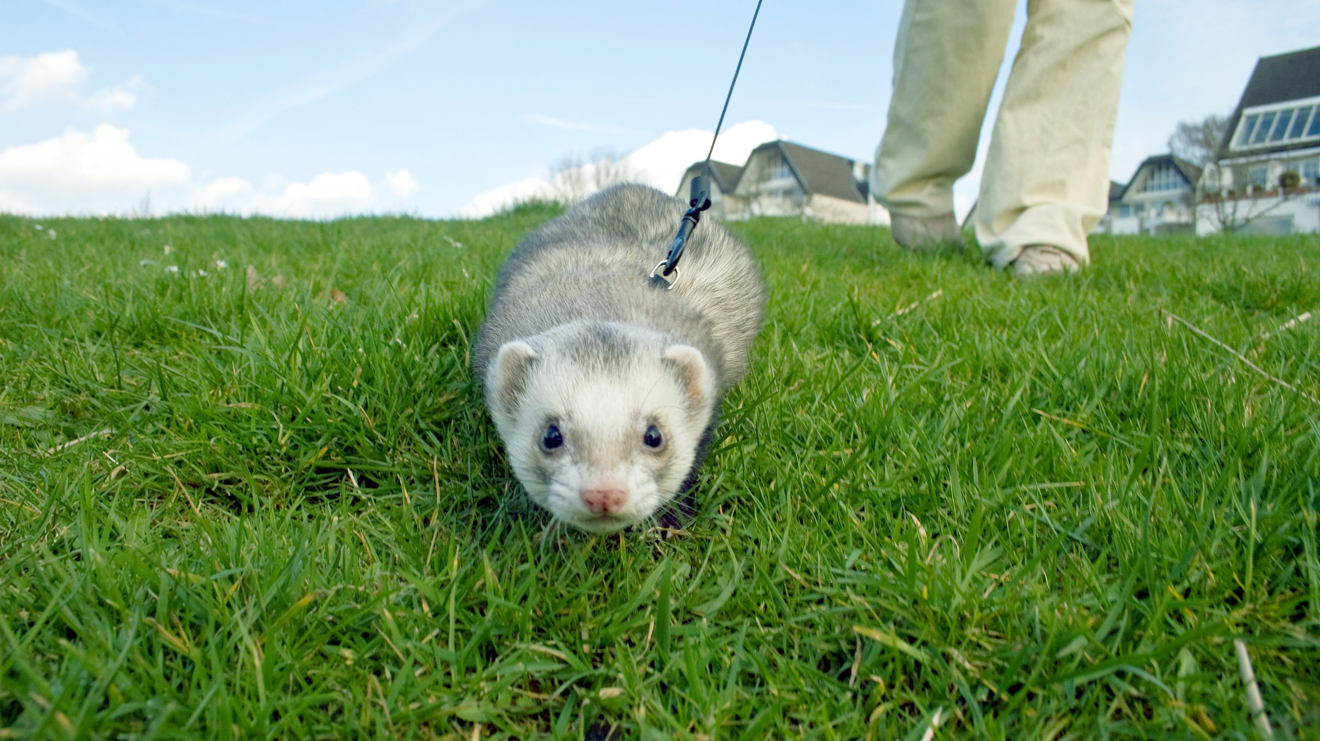 13 Fun Facts About Ferrets Mental Floss