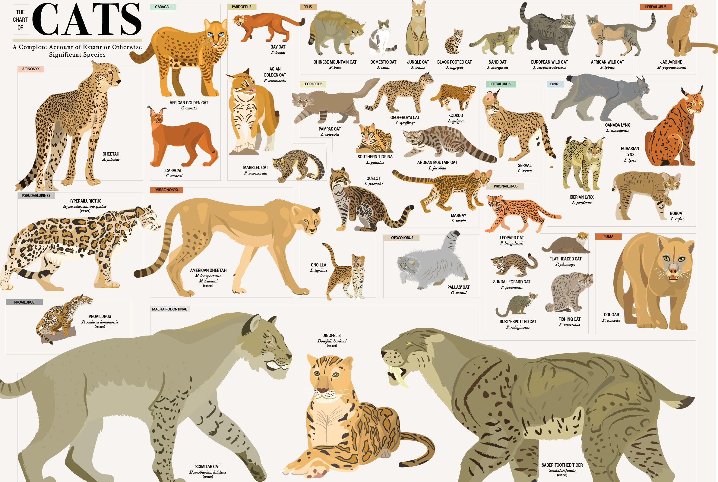 This Wall Chart Shows Every Species In The Cat Kingdom Mental Floss