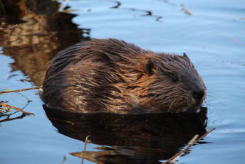 A young beaver with all four feet firmly on the ground.