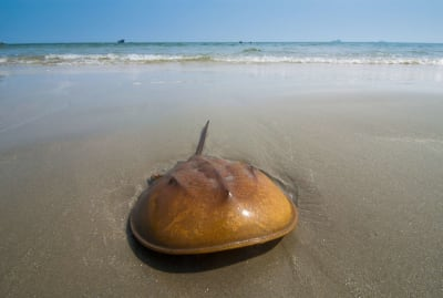 A horseshoe crab takes a breather.