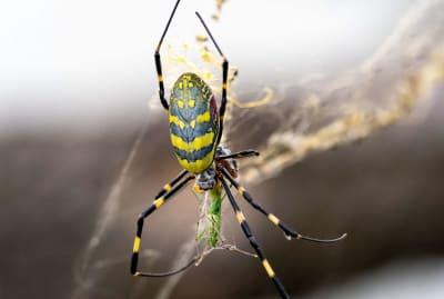 A Joro spider snacking on a grasshopper.