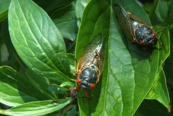 Cicadas are coming.