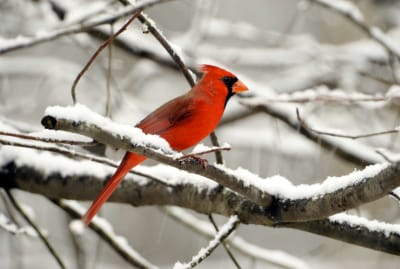 A not-so-rare male cardinal.