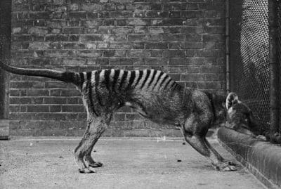 A Tasmanian tiger, or thylacine, in captivity circa 1930.