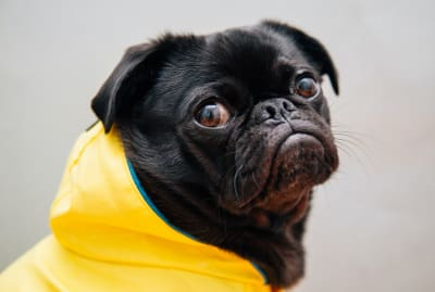 The face of a dog who clearly knows that a hard rain's a-gonna fall.