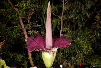 This corpse flower is ready for her closeup.