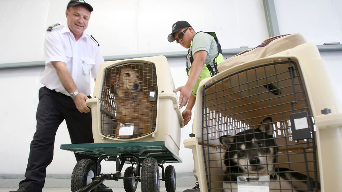 The President of Pet Airways helps load dogs onto a plane for takeoff.