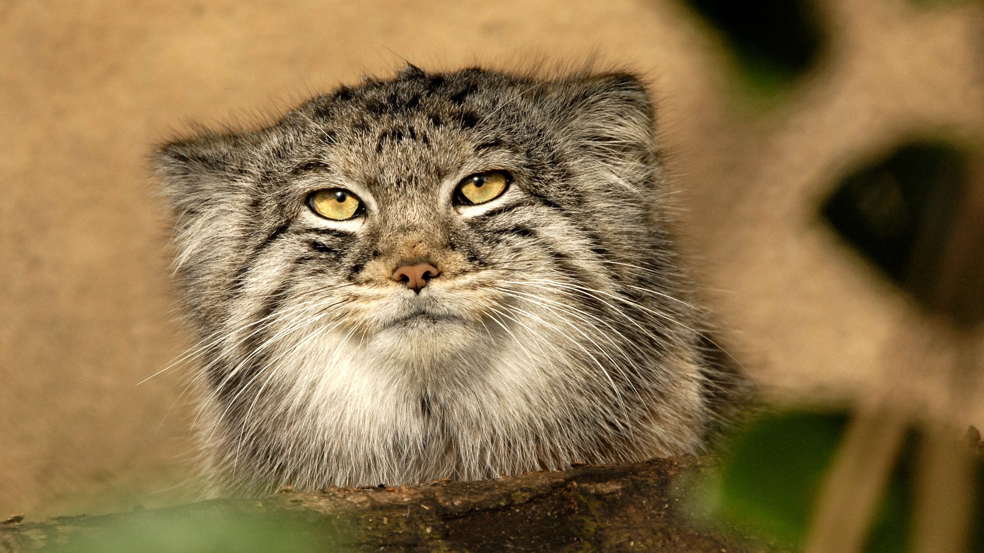 13 Fascinating Facts About Pallas S Cats Mental Floss