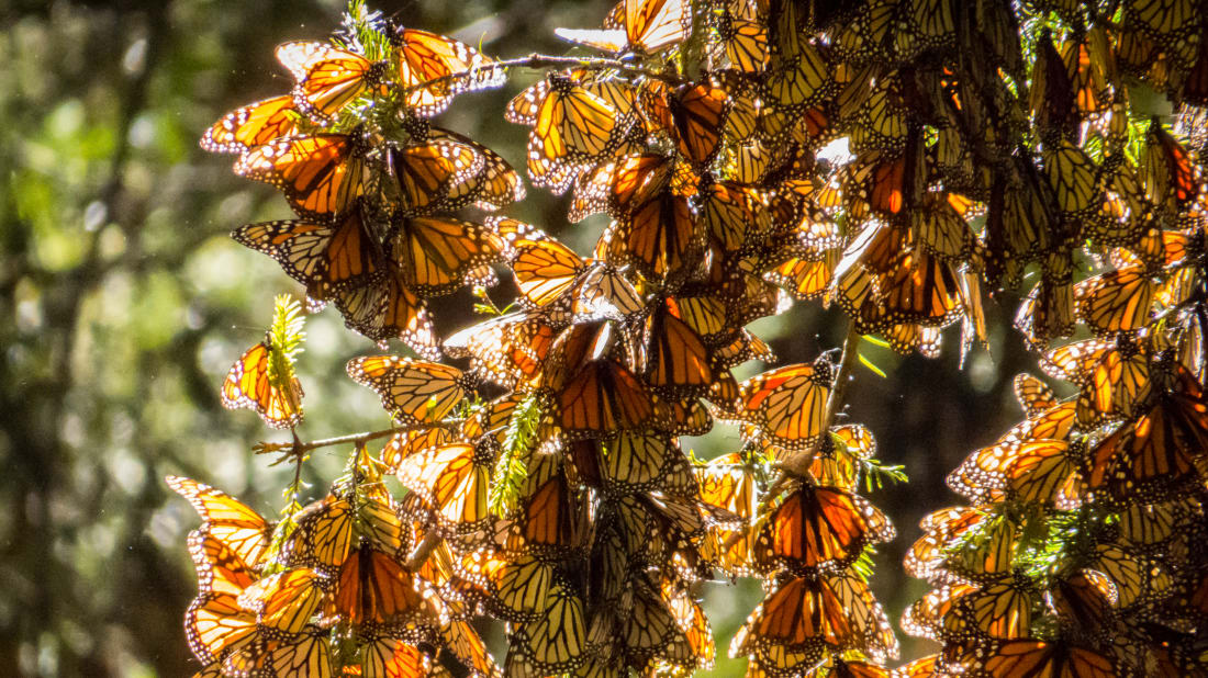 This Is What Millions of Monarch Butterflies Sound Like