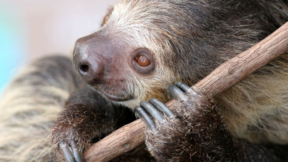 Elderly Sloths Live Out Their Golden Years at a 'Retirement Home' in