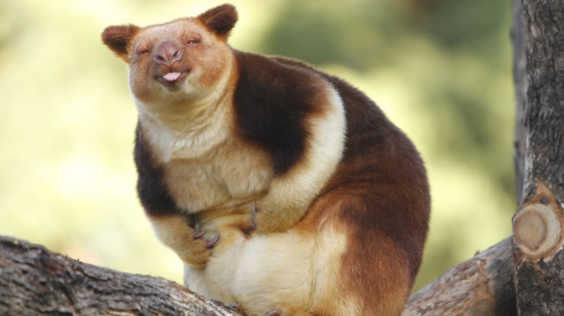 A different species of tree kangaroo