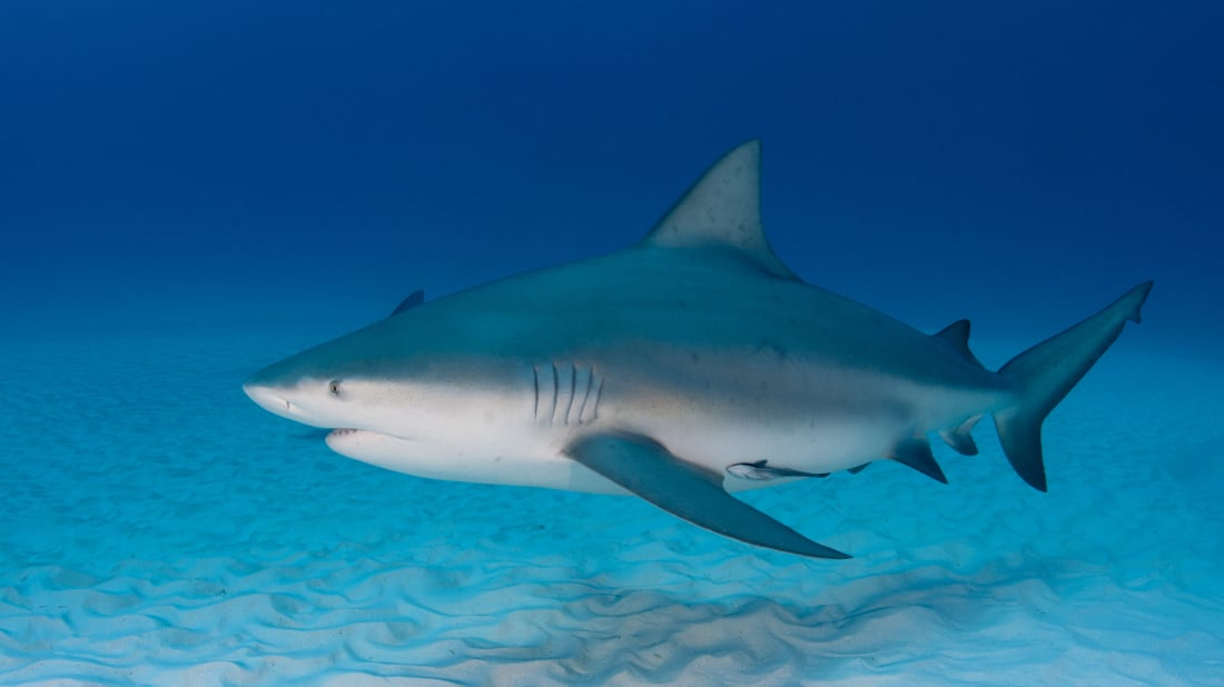 11 Facts About Bull Sharks Mental Floss