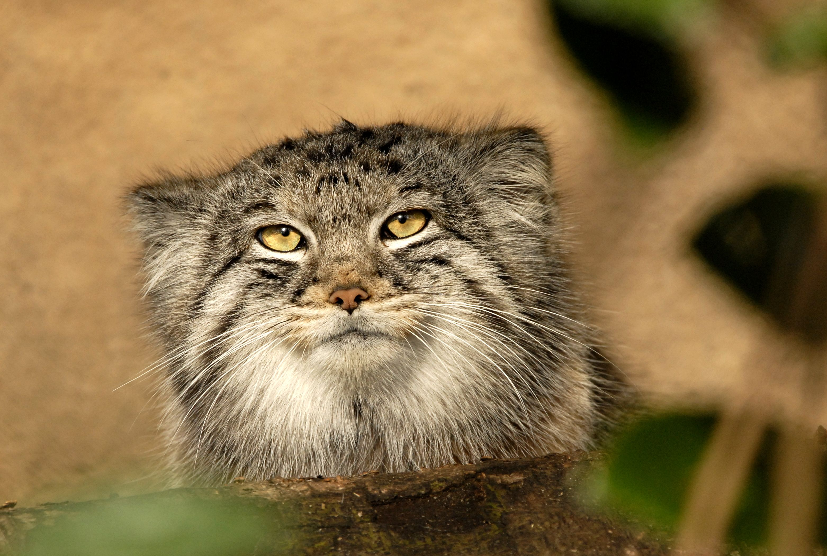 13 Fascinating Facts About Pallas's Cats | Mental Floss