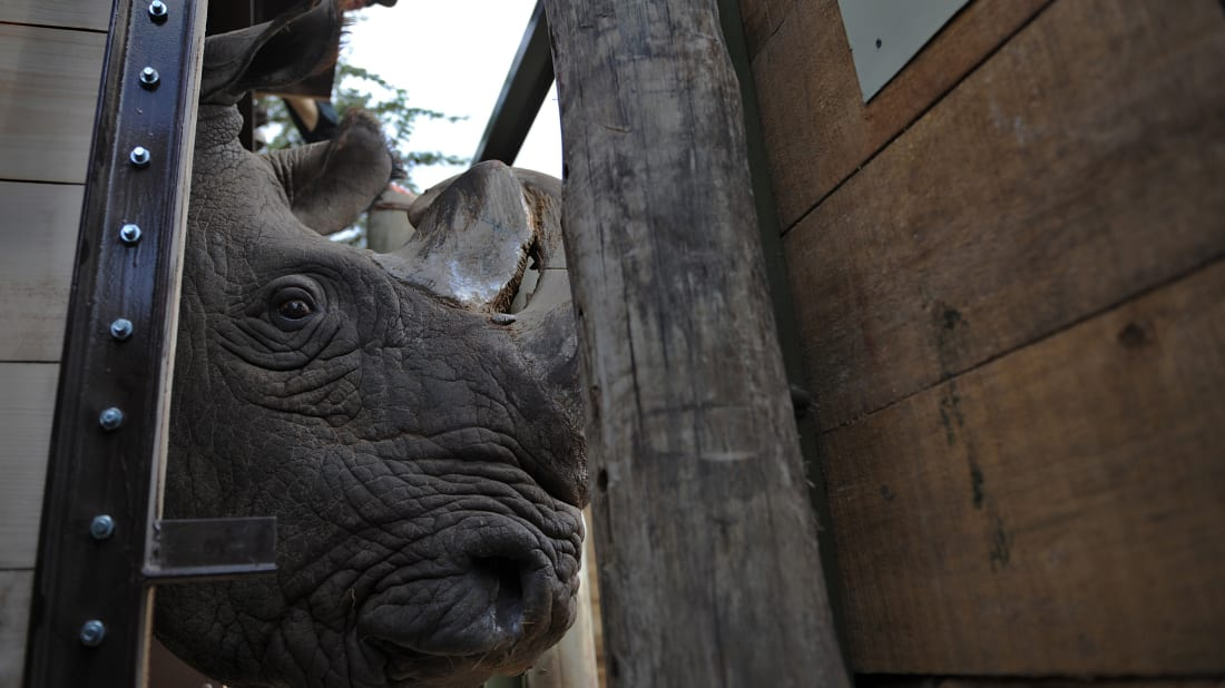 Sudan, the last male member of the northern white rhino subspecies, while being shipped to Kenya in 2009