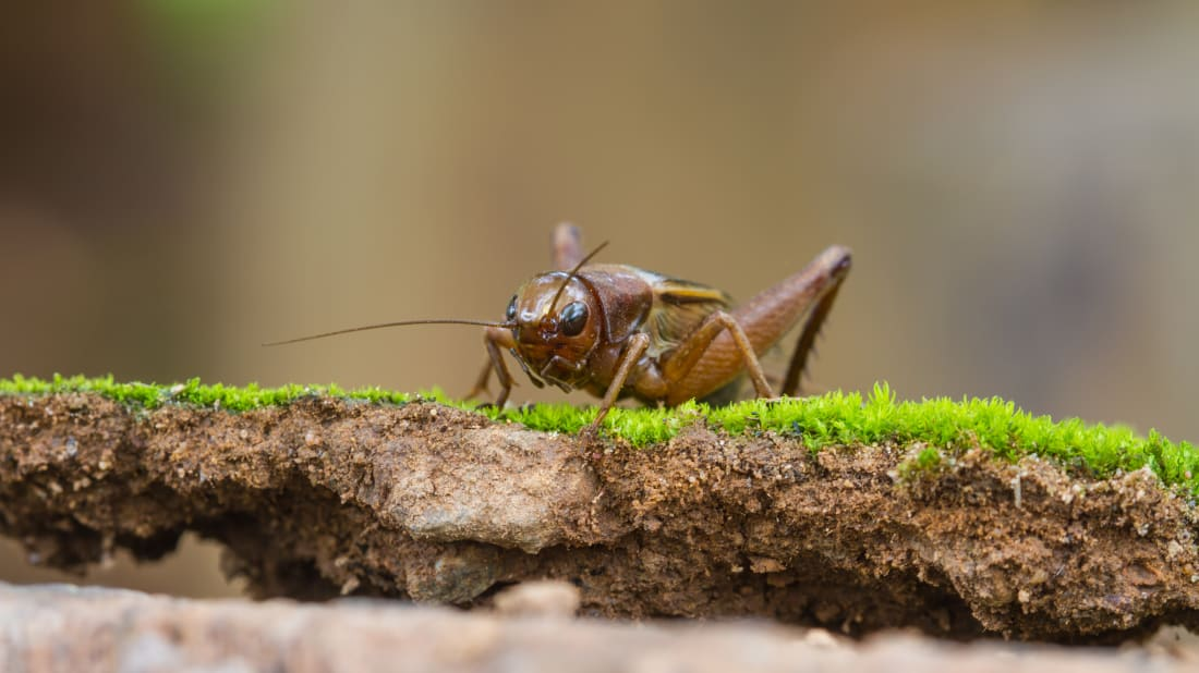 11 Cute Facts About Crickets | Mental Floss