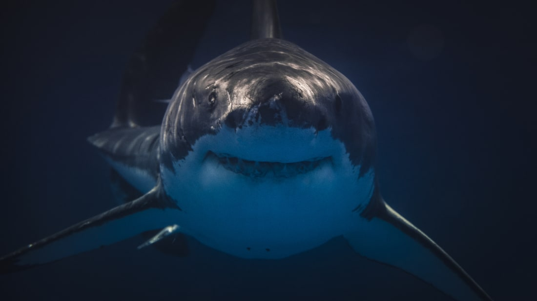 12 Facts About Great White Sharks | Mental Floss