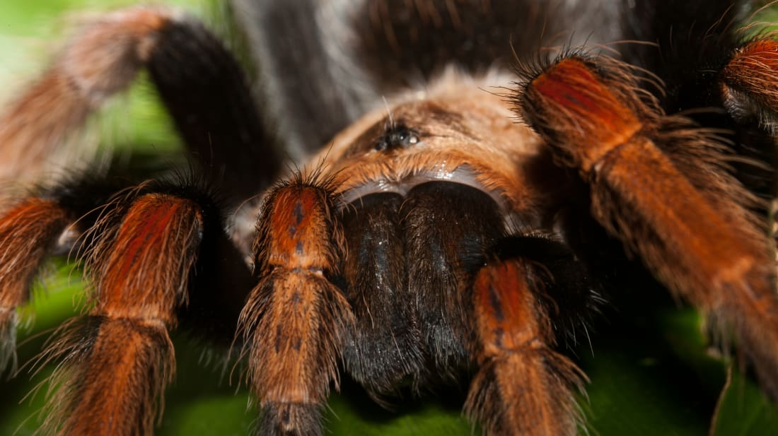 A Mexican fireleg tarantula