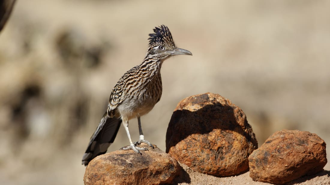 10 Quick Facts About Roadrunners
