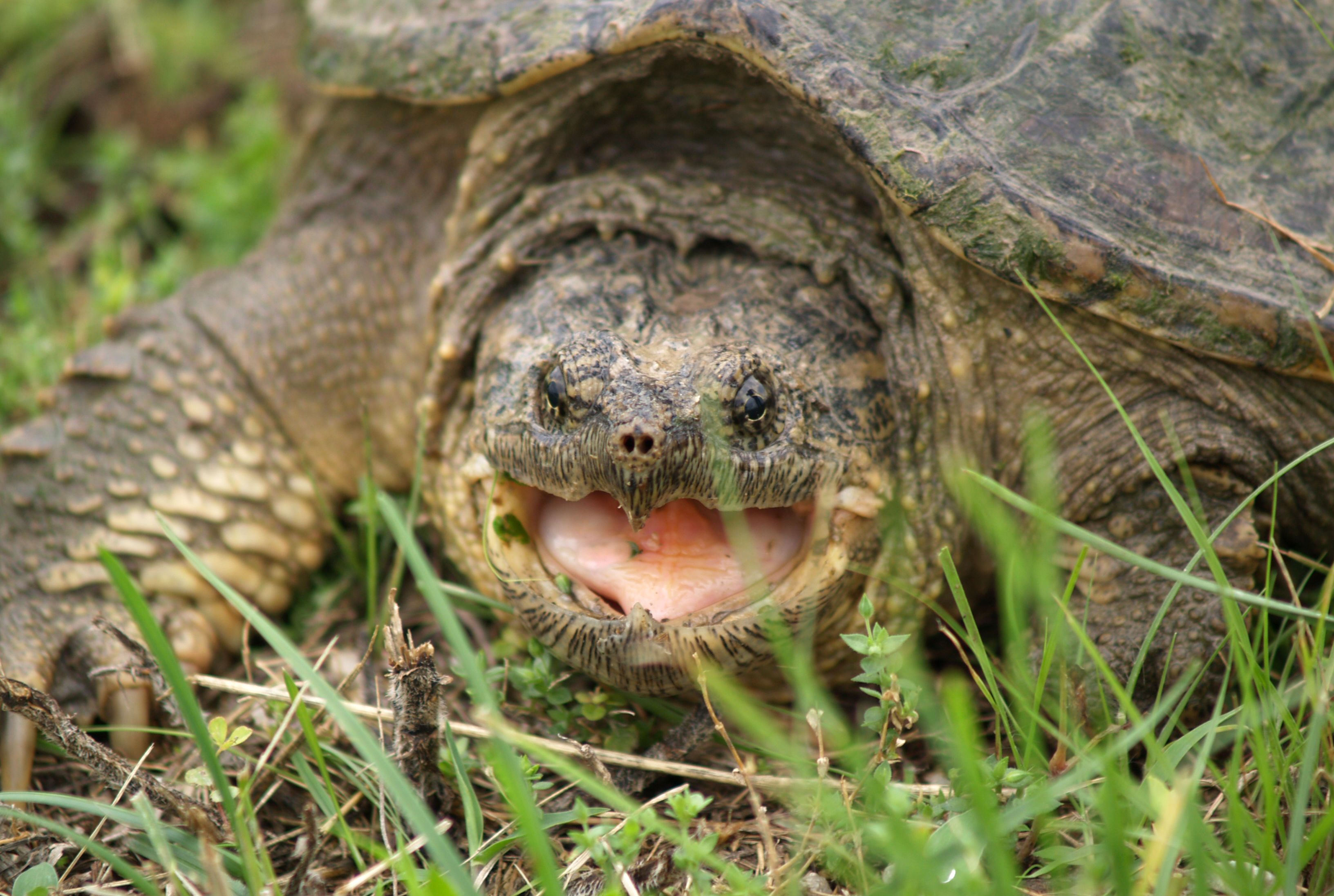 10 Biting Facts About Snapping Turtles | Mental Floss