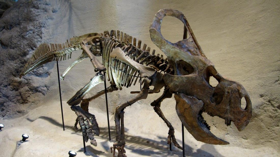 A protoceratops skeleton
