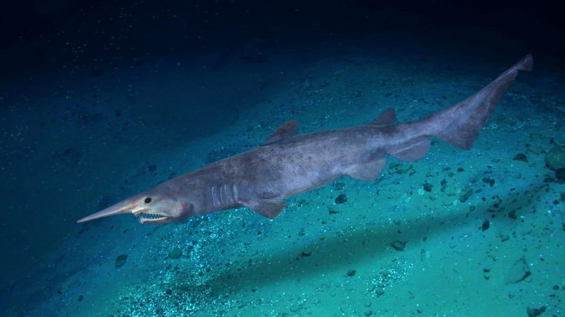 goblin shark habitat