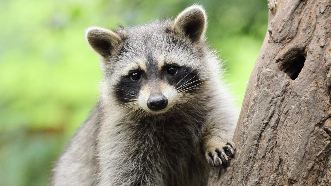 10 Clever Facts About Raccoons | Mental Floss