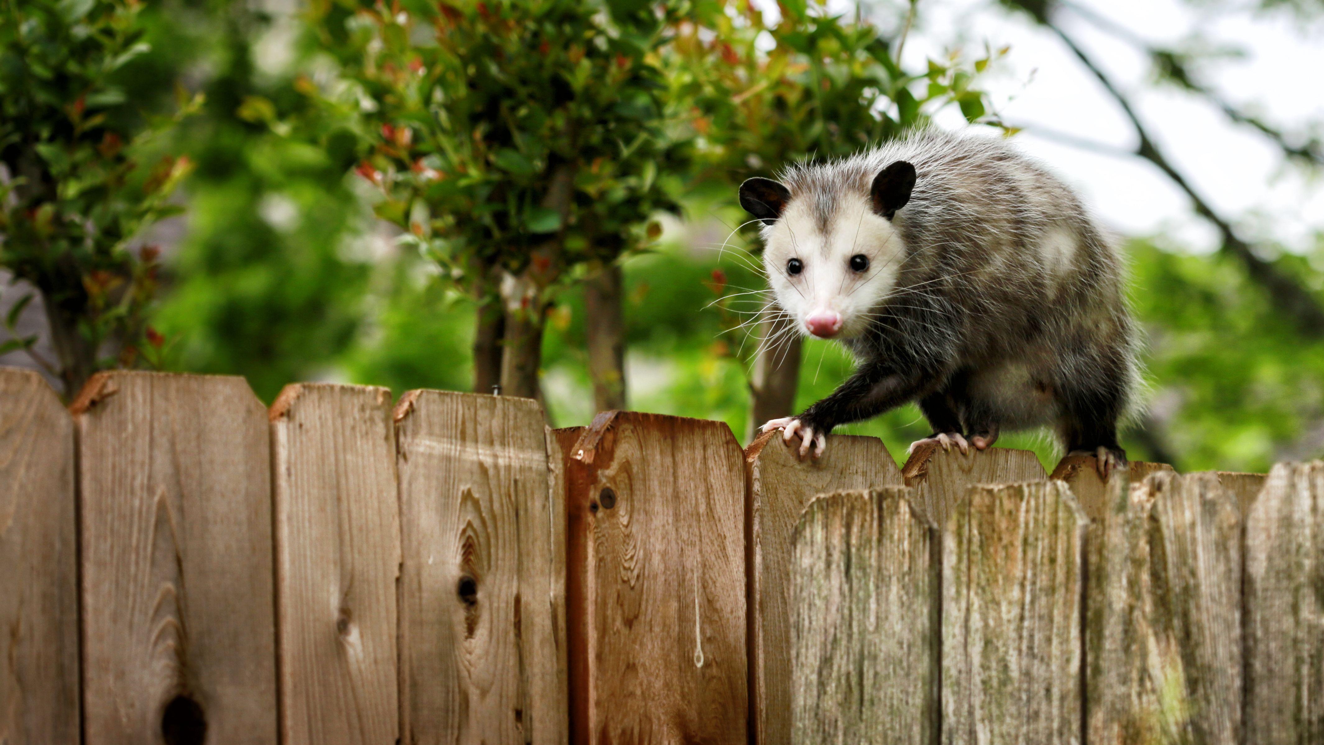 Picture opossum original nursery decor mothers day gift