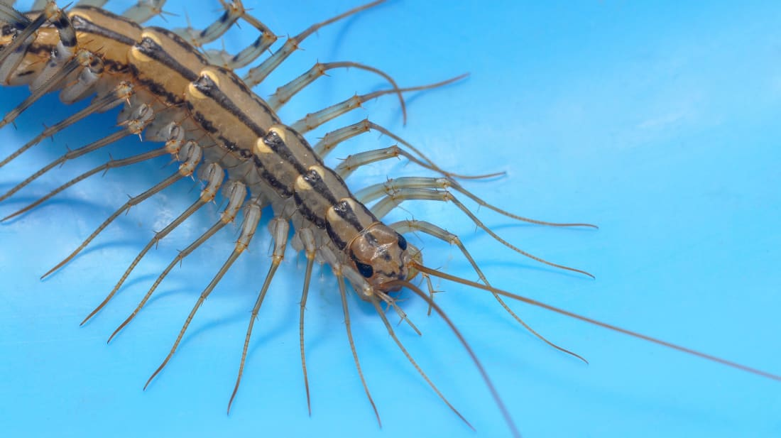 House Centipedes Use Their Legs Like Lassos to Catch Prey