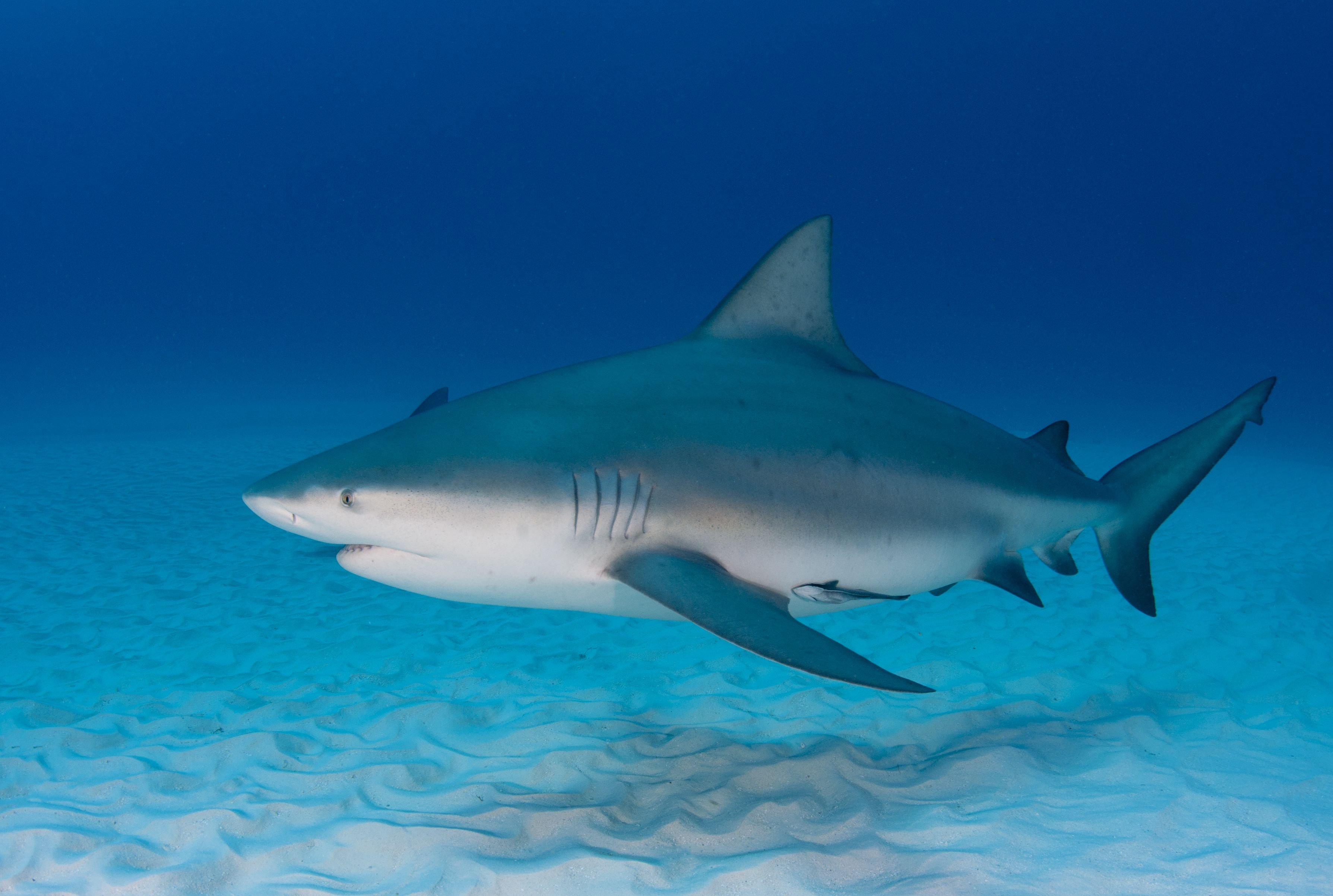 11 Facts About Bull Sharks | Mental Floss