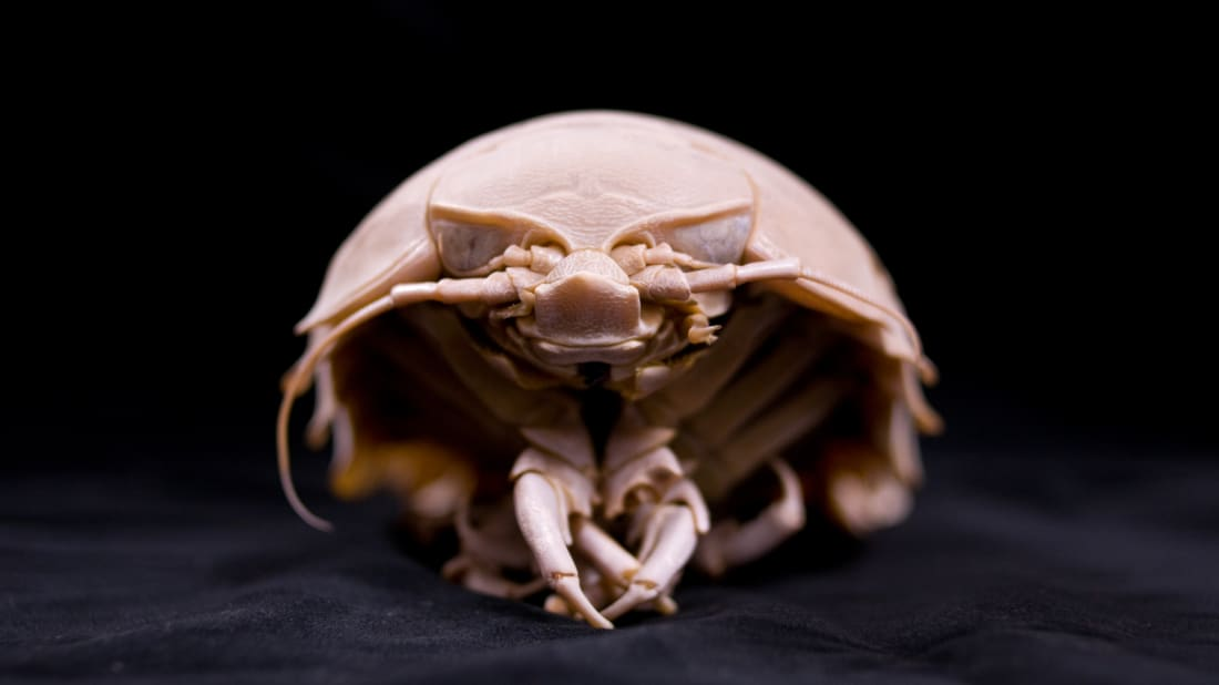"One known species of isopod, or ""giant sea cockroach"""