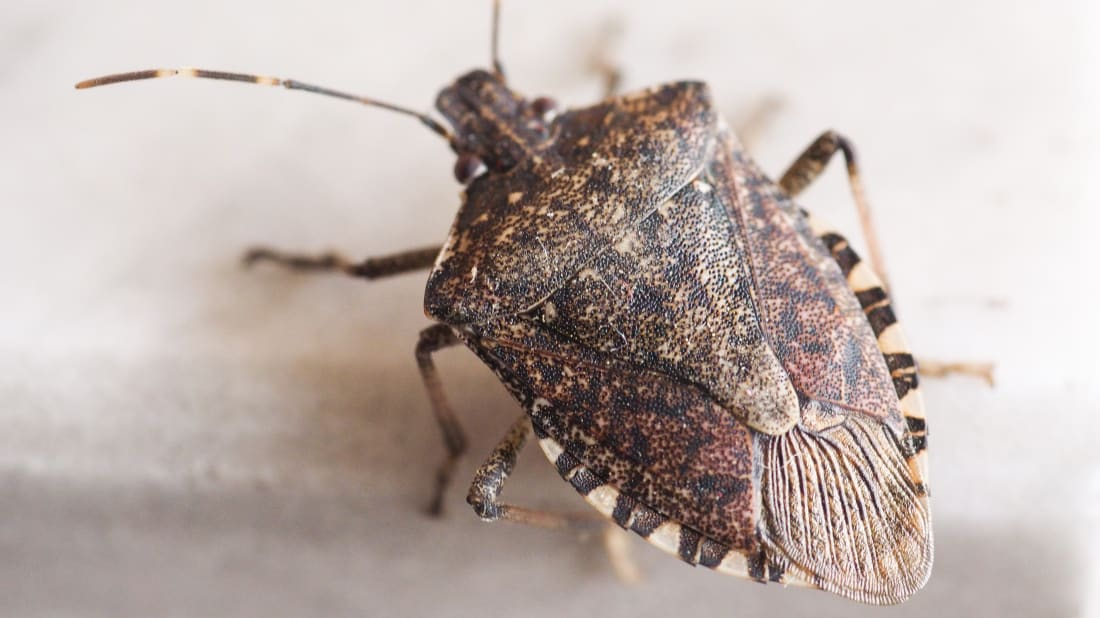 12 Facts About the Brown Marmorated Stink Bug | Mental Floss