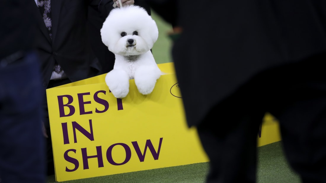 2018 Best in Show winner Flynn, a Bichon Frise, poses for photos at the conclusion of the 142nd Westminster Kennel Club Dog Show in New York City.