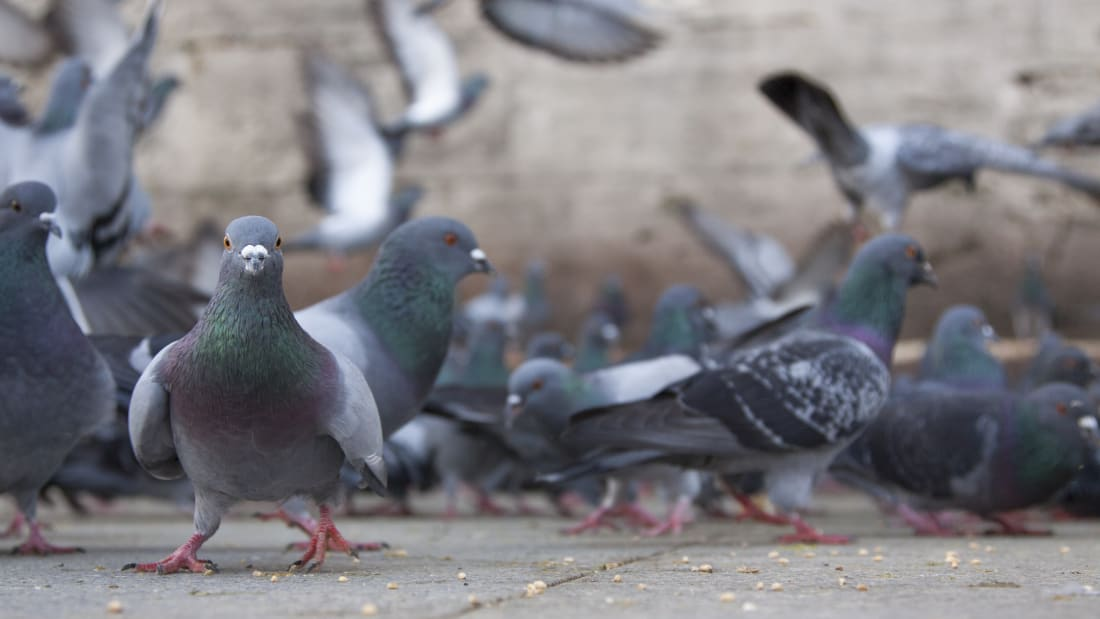 15 Incredible Facts About Pigeons | Mental Floss