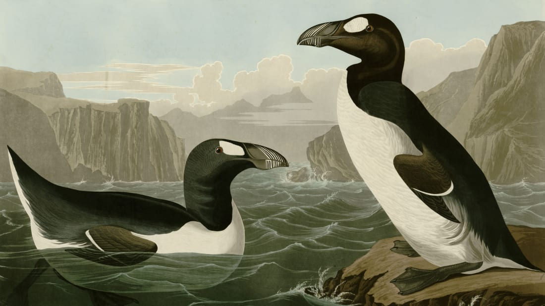 Drawing depicting the Great Auk, from the book 'Birds of America' by John James Audubon.