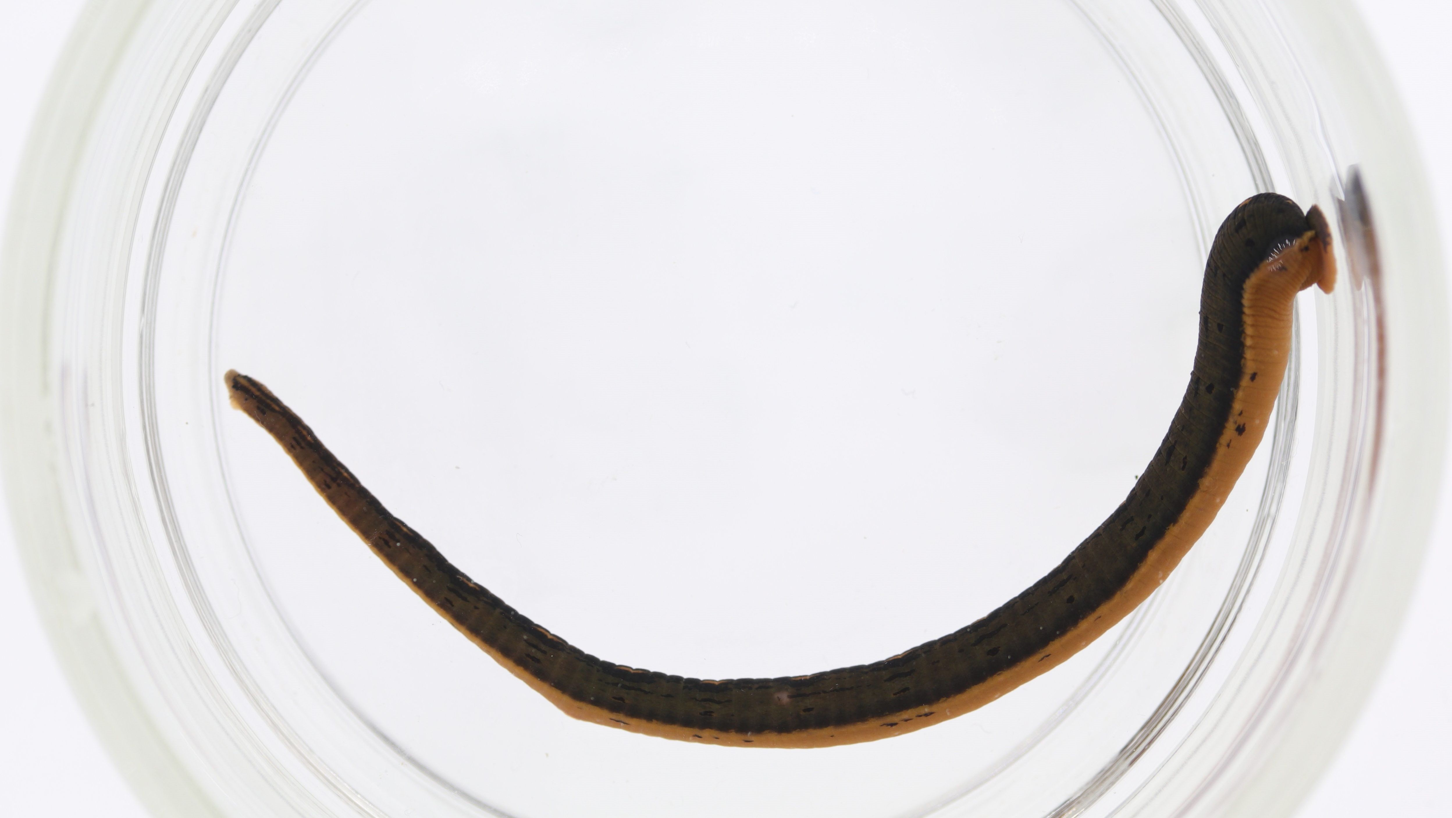 10 Juicy Facts About Leeches | Mental Floss