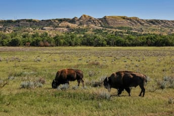 Two bison grazing in Theodore Roosevelt National Park.