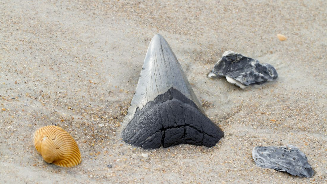 Middle School Student Discovers Megalodon Tooth Fossil on Spring Break