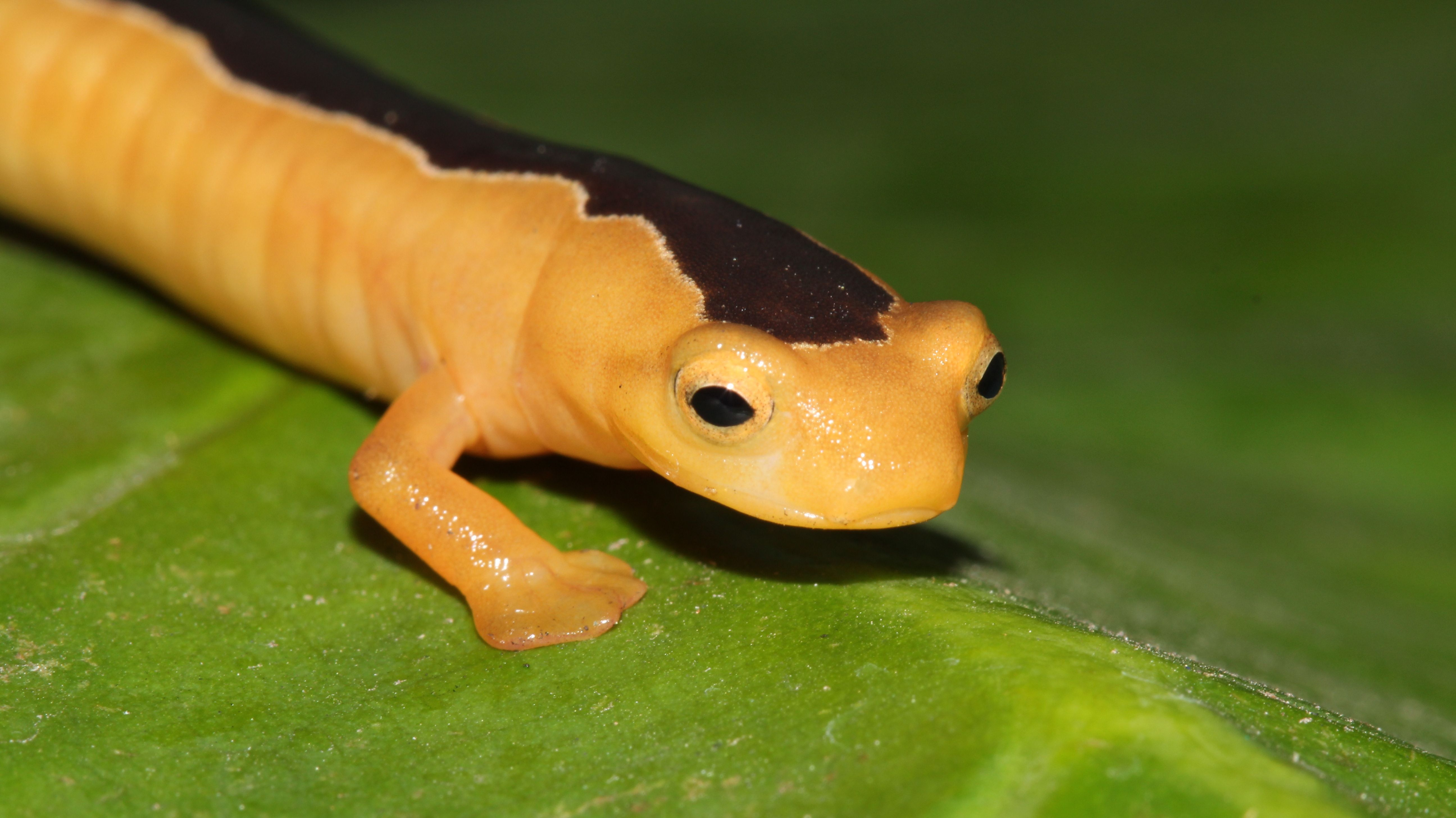 Presumed Extinct, the Rare 'Golden Wonder' Salamander Reappears After 42 Years - Mental Floss