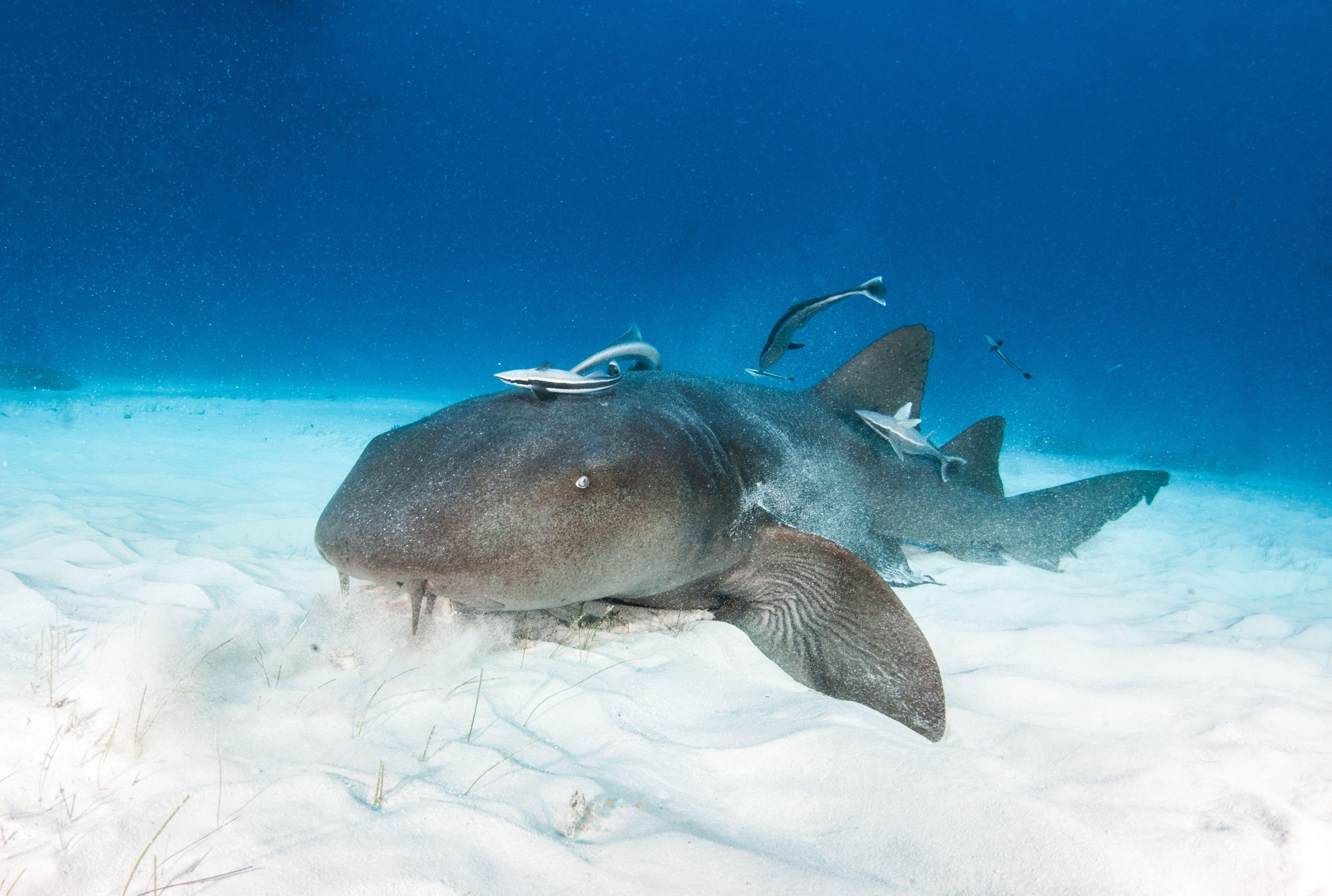 13 Facts About Nurse Sharks   Mental Floss